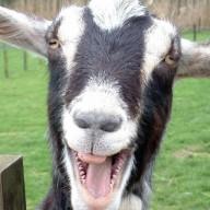Goats22