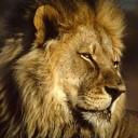 Tony The Lion