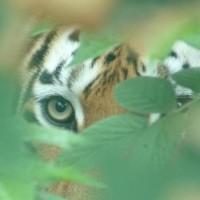 TigersWay
