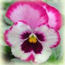 Profile picture of Pansy Petal