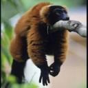 Rusty Lemur