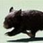 Profile picture of wombats