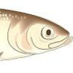 Profile picture of redsalmon
